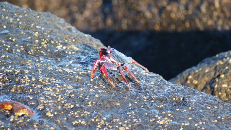 crabe Tenerife